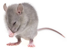 A little mouse Royalty Free Stock Photo