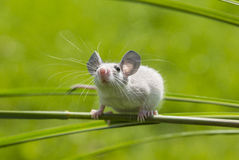A little mouse. Sitting on a grass Royalty Free Stock Images