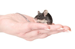 Little mouse sitting on hands Royalty Free Stock Photography