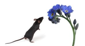 Little mouse smelling flowers Royalty Free Stock Photography