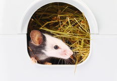 Little mouse sticking his nose from hole Royalty Free Stock Photo