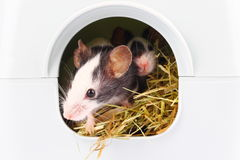 Little mouse sticking nose from hole Stock Photo