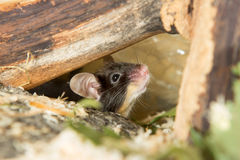 Little mouse under a log. Cute little mouse peering out cautiously from under a log with its whiskers twitching and ear cocked for sound Stock Photos