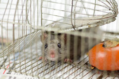 Little mouse watching in the camera in a cage Royalty Free Stock Photo