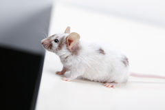 Little mouse on white Stock Photos