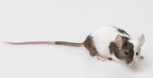 Little mouse Royalty Free Stock Image