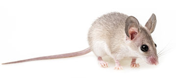 A little mouse Stock Image