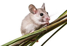 A little mouse Royalty Free Stock Photos