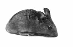 Little mouse on white background Stock Photo