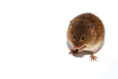 Little mouse on white Royalty Free Stock Photos