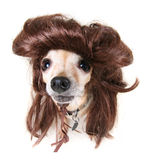 Little mullet dog Stock Photo