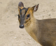 Little Muntjac Stock Images