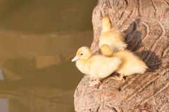 The little Muscovy Duck standing near the canal Stock Photos
