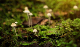 Little mushroom family in the forest Royalty Free Stock Photos