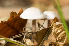 Little mushroom in the forest, macro Stock Images