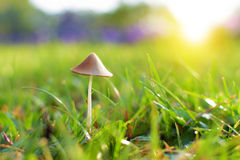 Little Mushroom on Grass royalty free stock photography
