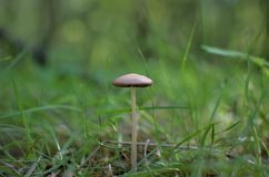 Small mushroom in the grass. royalty free stock image