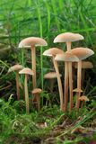 Little mushrooms in grass. Little mushrooms in moss and grass Royalty Free Stock Photography