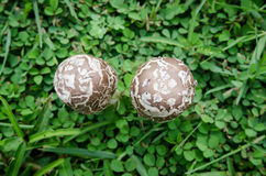 Little mushrooms on green grass Stock Photography