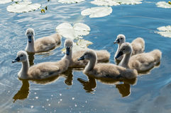 Little mute swans (Cygnus olor) on the lake Royalty Free Stock Image