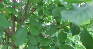 A little natural tree with small number of ripe cherries in a home garden.  stock video