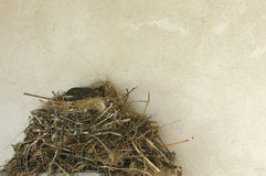 Little nestling in the nest near the wall texture Royalty Free Stock Images