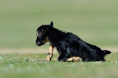 Little new born baby goat on field. In spring Stock Photography
