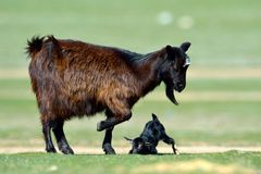 Little new born baby goat on field Stock Image
