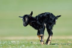 Little new born baby goat on field. In spring Stock Images
