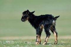Little new born baby goat on field Royalty Free Stock Photos