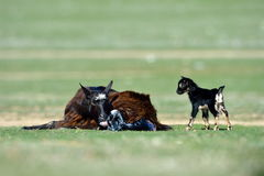 Little new born baby goat on field. In spring Royalty Free Stock Image