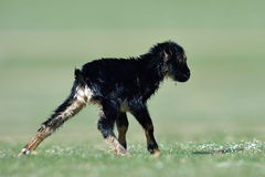Little new born baby goat on field in spring. Cute new born baby goat on field in spring Stock Photography
