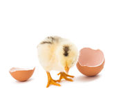 Little newborn baby chicken Royalty Free Stock Photography
