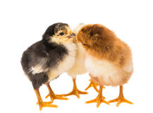 Little newborn baby chicken Royalty Free Stock Images