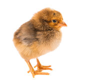 Little newborn baby chicken Stock Images