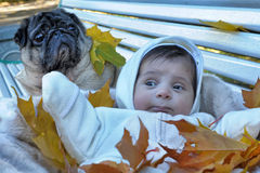 Little newborn baby and pug. For a walk in the autumn Royalty Free Stock Image