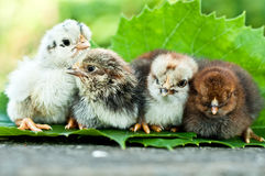 Little newborn chicken on nature Stock Image