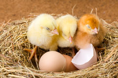 Little newborn chickens in nest with egg shell Stock Image