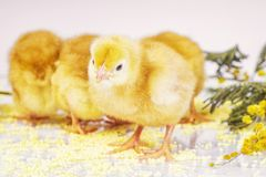 Little newborn chickens. Yellow chickens with a yellow flower stock image