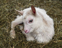 Little newborn goat. A little white newborn goat Royalty Free Stock Photo