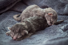 Little newborn kittens lie on a blanket. Royalty Free Stock Photo
