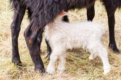 Little newborn lamb drinking Royalty Free Stock Photos