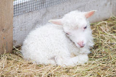 Little newborn lamb resting on the grass Royalty Free Stock Photography