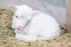 Free Little Newborn Lamb Resting On The Grass Royalty Free Stock Image - 75987306