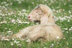 Little newborn lamb Royalty Free Stock Photography