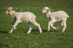 Little newborn lamb Royalty Free Stock Photos