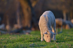 Little newborn lamb in springtime grazing on a green meadow in s Royalty Free Stock Photos