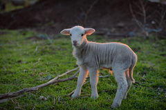 Little newborn lamb in springtime grazing on a green meadow in s Royalty Free Stock Photography
