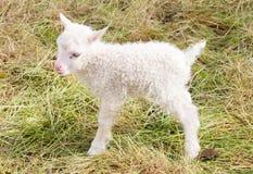 Little newborn lamb standing on the grass Stock Images