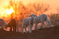 Little newborn lambs in springtime in sunset light Stock Photos